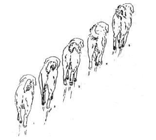 Нормальное положение ног при рыси