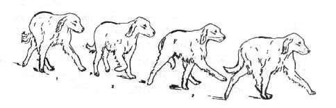 «Краоообразное» движение и перекрещивание задних конечностей