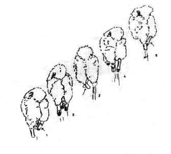 Коровина